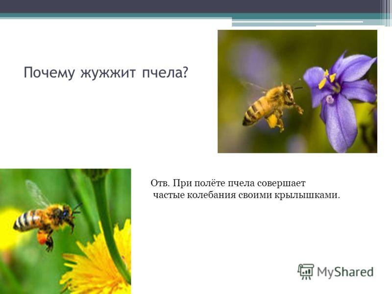 Почему жужжит пчела? Отв. При полёте пчела совершает частые колебания своими крылышками.