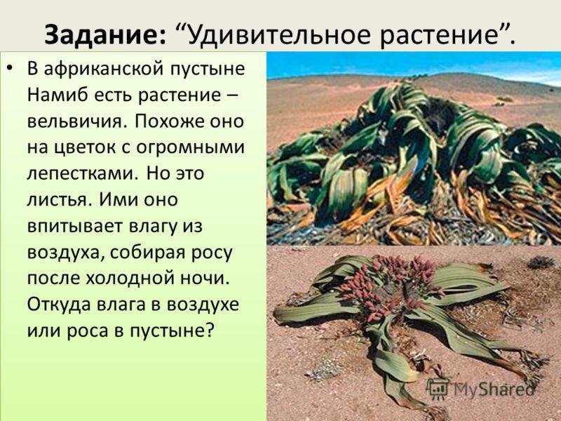 Задание: Удивительное растение. В африканской пустыне Намиб есть растение – вельвичия. Похоже оно на цветок с огромными лепестками. Но это листья. Ими оно впитывает влагу из воздуха, собирая росу после холодной ночи. Откуда влага в воздухе или роса в