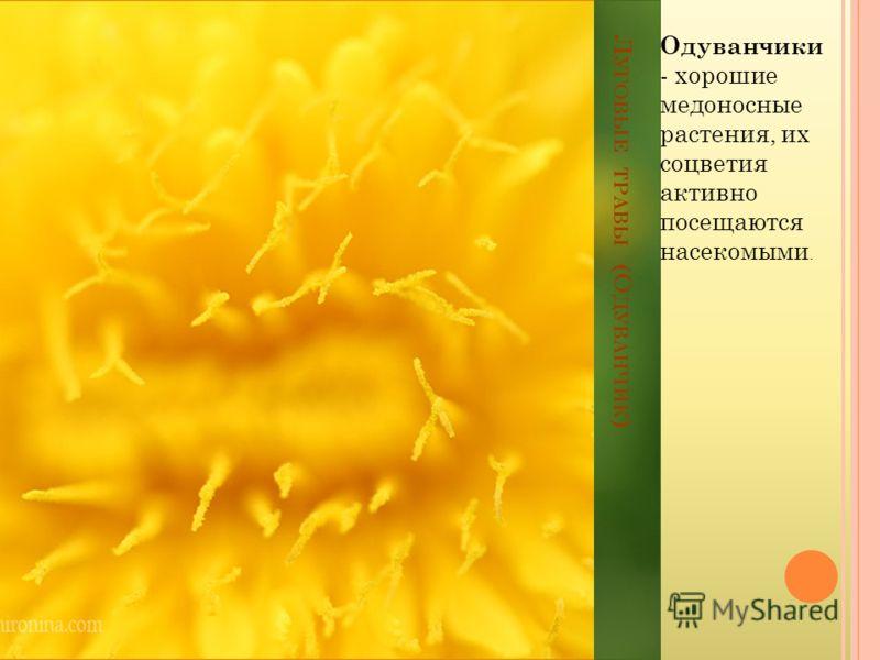 Л УГОВЫЕ ТРАВЫ (О ДУВАНЧИК ) Одуванчики - хорошие медоносные растения, их соцветия активно посещаются насекомыми.
