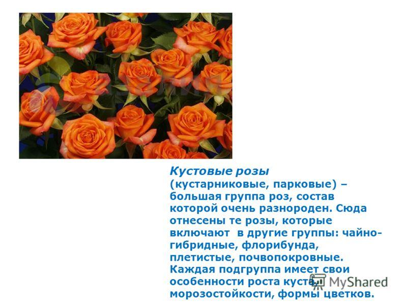 Кустовые розы (кустарниковые, парковые) – большая группа роз, состав которой очень разнороден. Сюда отнесены те розы, которые включают в другие группы: чайно- гибридные, флорибунда, плетистые, почвопокровные. Каждая подгруппа имеет свои особенности р