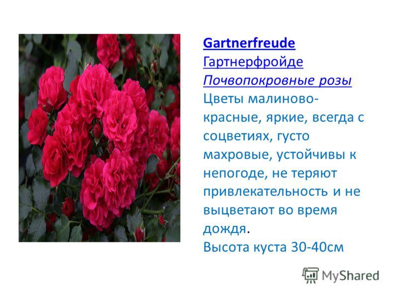 Gartnerfreude Гартнерфройде Почвопокровные розы Цветы малиново- красные, яркие, всегда с соцветиях, густо махровые, устойчивы к непогоде, не теряют привлекательность и не выцветают во время дождя. Высота куста 30-40см