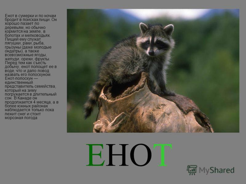 ЕНОТ Енот в сумерки и по ночам бродит в поисках пищи. Он хорошо лазает по деревьям, но обычно кормится на земле, в болотах и мелководьях. Пищей ему служат лягушки, раки, рыба, грызуны (даже молодые ондатры), а также всевозможные ягоды, желуди, орехи,