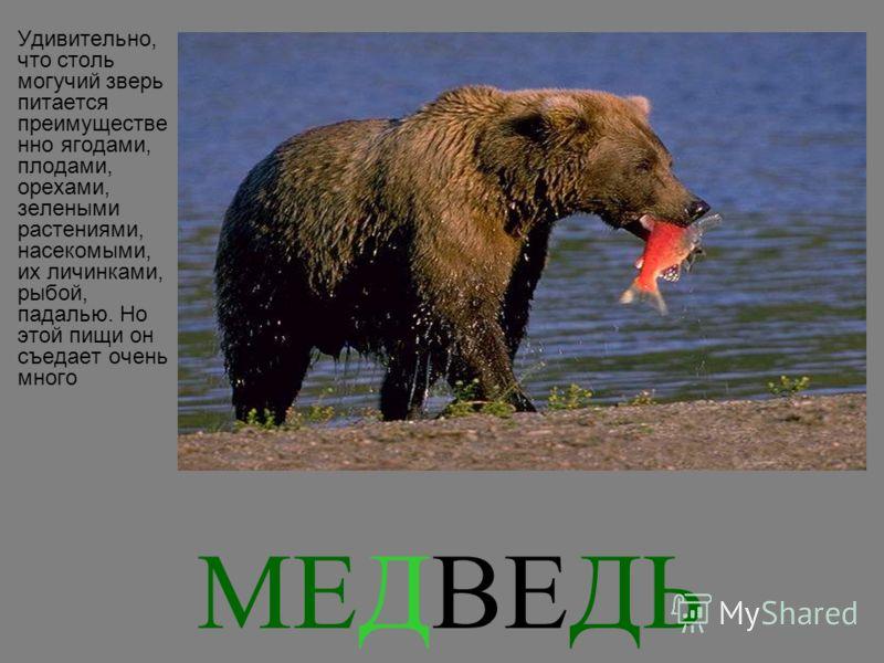 МЕДВЕДЬ Удивительно, что столь могучий зверь питается преимуществе нно ягодами, плодами, орехами, зелеными растениями, насекомыми, их личинками, рыбой, падалью. Но этой пищи он съедает очень много