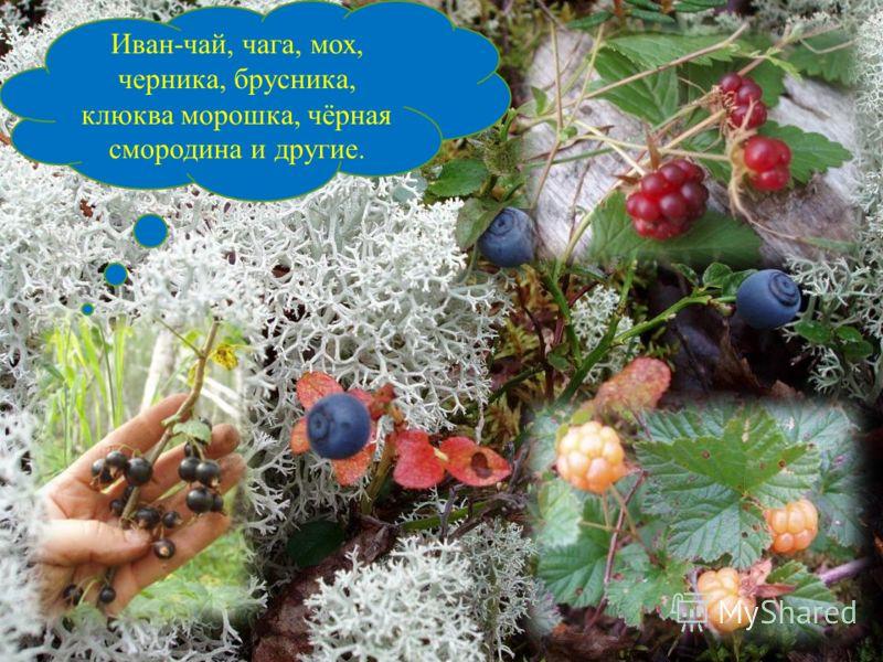 Иван-чай, чага, мох, черника, брусника, клюква морошка, чёрная смородина и другие.