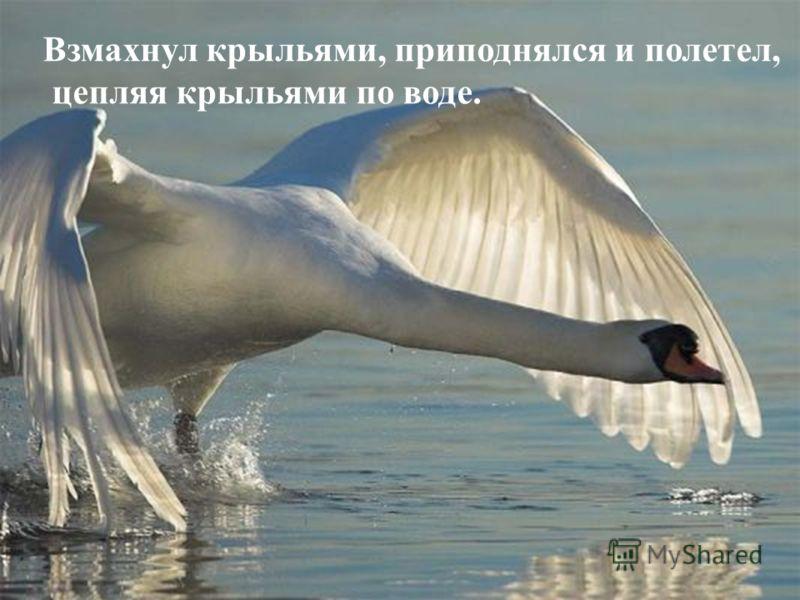 Взмахнул крыльями, приподнялся и полетел, цепляя крыльями по воде.