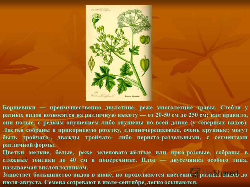 Борщевики преимущественно двулетние, реже многолетние травы. Стебли у разных видов возносятся на различную высоту от 20-50 см до 250 см; как правило, они полые, с редким опушением либо опушены по всей длине (у северных видов). Листья собраны в прикор
