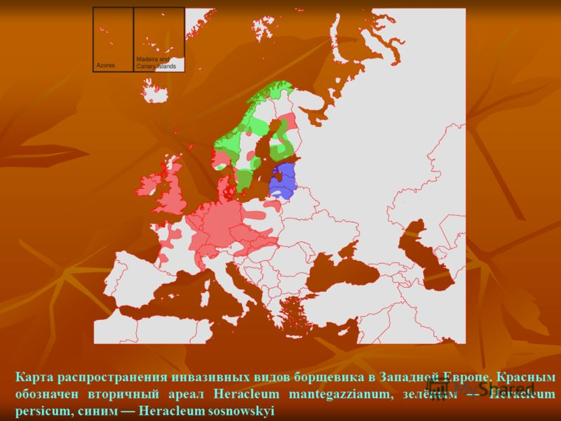 Карта распространения инвазивных видов борщевика в Западной Европе. Красным обозначен вторичный ареал Heracleum mantegazzianum, зелёным Heracleum persicum, синим Heracleum sosnowskyi