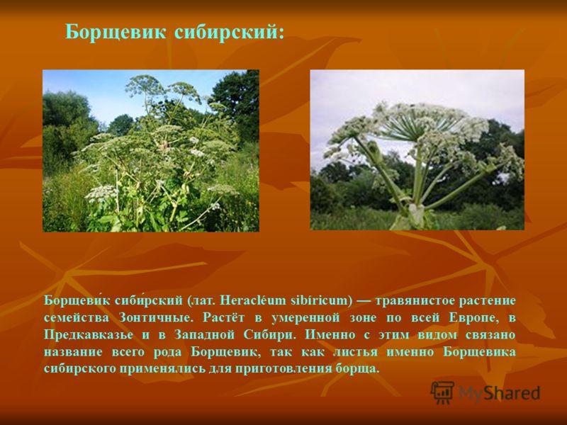 Борщевик сибирский: Борщеви́к сиби́рский (лат. Heracléum sibíricum) травянистое растение семейства Зонтичные. Растёт в умеренной зоне по всей Европе, в Предкавказье и в Западной Сибири. Именно с этим видом связано название всего рода Борщевик, так ка