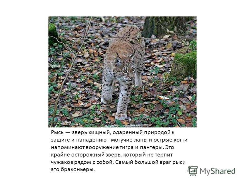 Рысь зверь хищный, одаренный природой к защите и нападению - могучие лапы и острые когти напоминают вооружение тигра и пантеры. Это крайне осторожный зверь, который не терпит чужаков рядом с собой. Самый большой враг рыси это браконьеры.