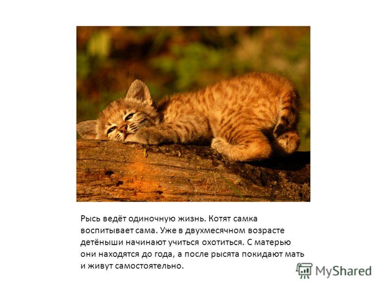 Рысь ведёт одиночную жизнь. Котят самка воспитывает сама. Уже в двухмесячном возрасте детёныши начинают учиться охотиться. С матерью они находятся до года, а после рысята покидают мать и живут самостоятельно.
