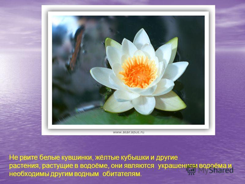 Не рвите белые кувшинки, жёлтые кубышки и другие растения, растущие в водоёме, они являются украшением водоёма и необходимы другим водным обитателям.