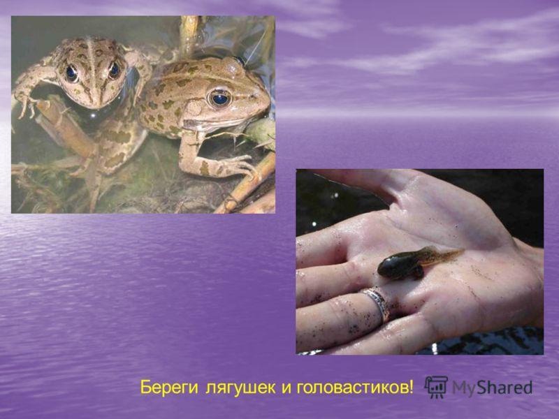 Береги лягушек и головастиков!