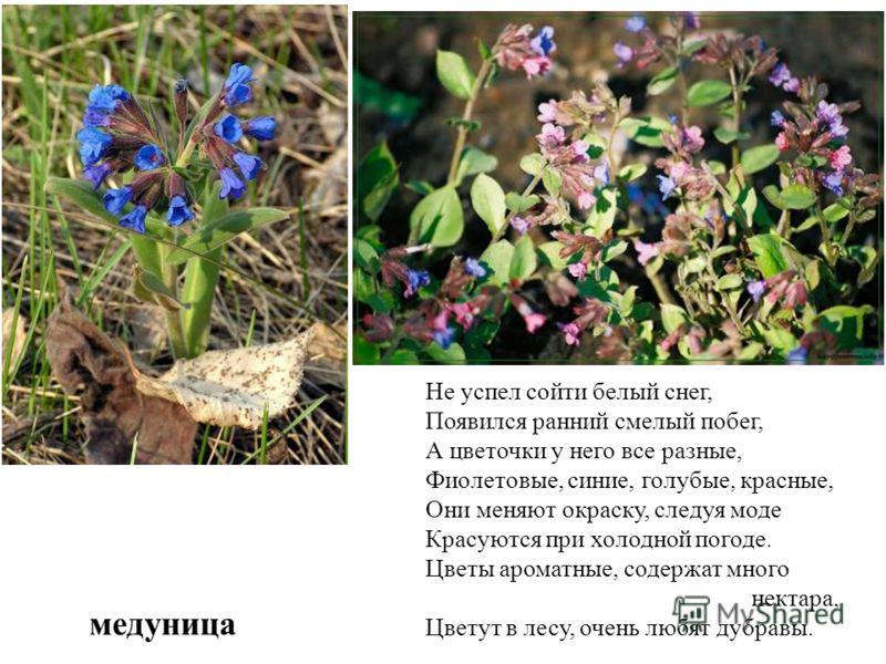 медуница Не успел сойти белый снег, Появился ранний смелый побег, А цветочки у него все разные, Фиолетовые, синие, голубые, красные, Они меняют окраску, следуя моде Красуются при холодной погоде. Цветы ароматные, содержат много нектара, Цветут в лесу