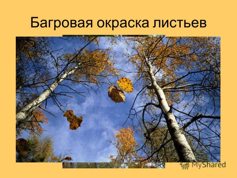 Багровая окраска листьев