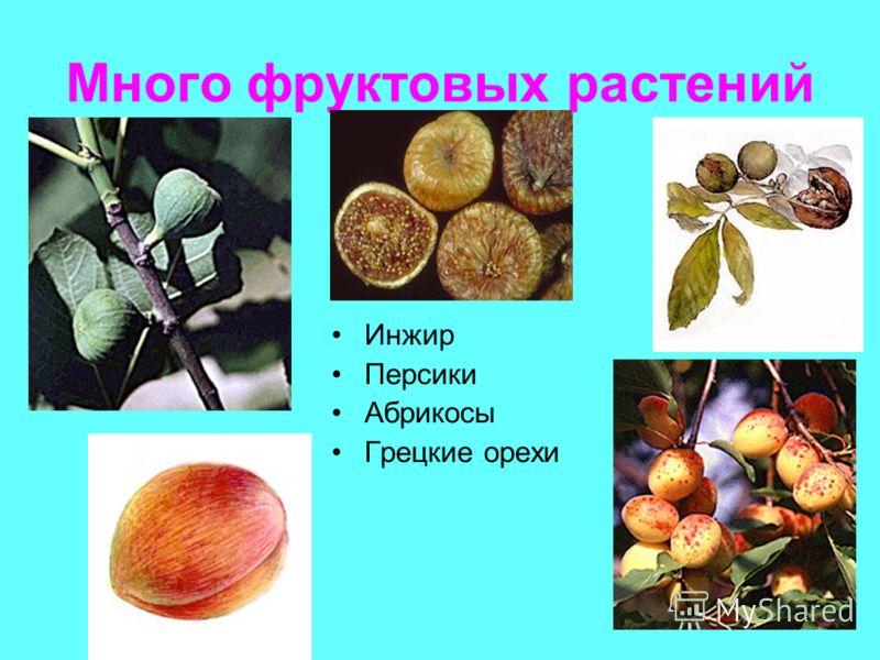 Много фруктовых растений Инжир Персики Абрикосы Грецкие орехи