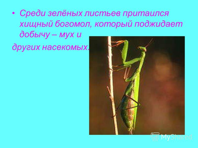 Среди зелёных листьев притаился хищный богомол, который поджидает добычу – мух и других насекомых.