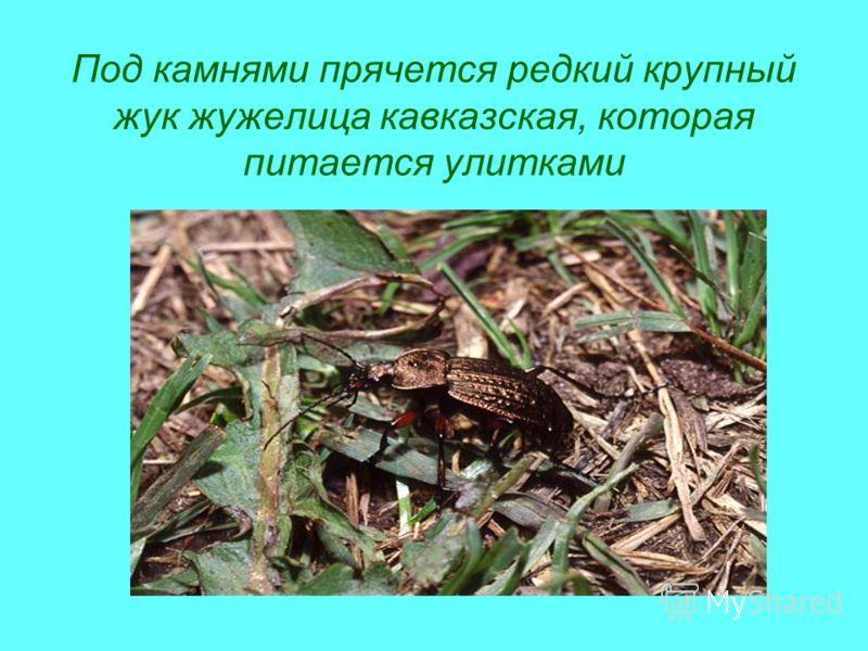 Под камнями прячется редкий крупный жук жужелица кавказская, которая питается улитками