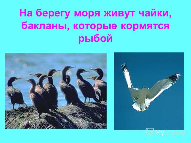 На берегу моря живут чайки, бакланы, которые кормятся рыбой