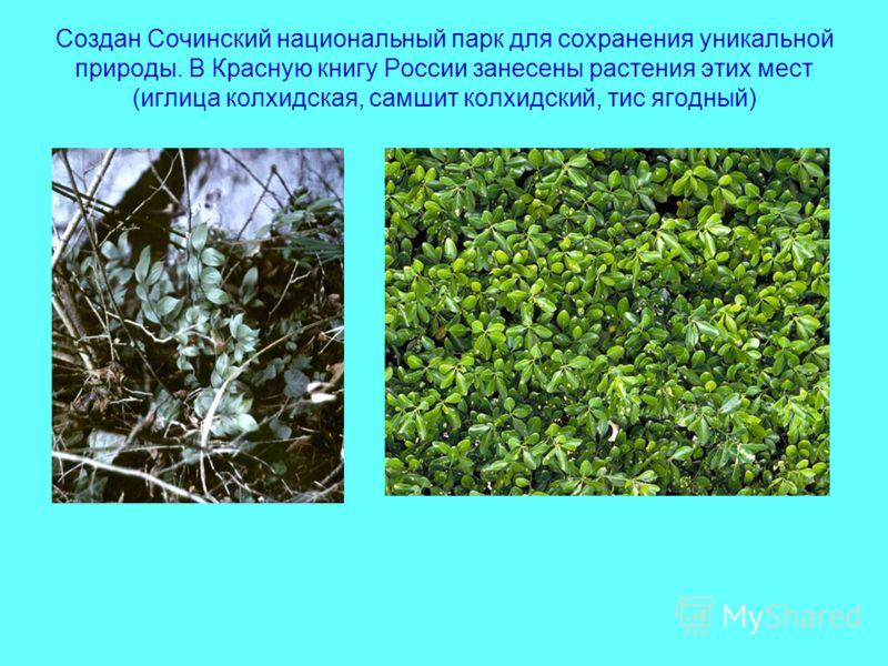 Создан Сочинский национальный парк для сохранения уникальной природы. В Красную книгу России занесены растения этих мест (иглица колхидская, самшит колхидский, тис ягодный)