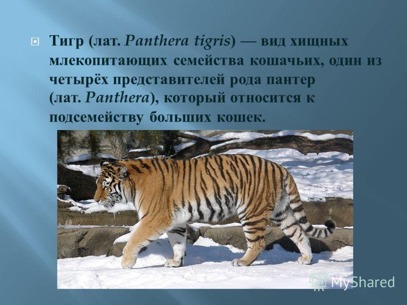 Тигр ( лат. Panthera tigris ) вид хищных млекопитающих семейства кошачьих, один из четырёх представителей рода пантер ( лат. Panthera ), который относится к подсемейству больших кошек.