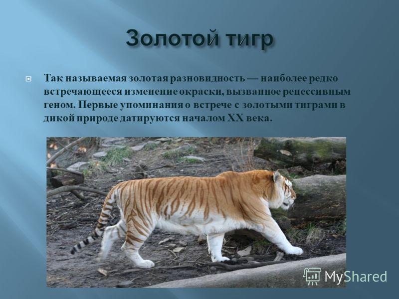 Так называемая золотая разновидность наиболее редко встречающееся изменение окраски, вызванное рецессивным геном. Первые упоминания о встрече с золотыми тиграми в дикой природе датируются началом XX века.