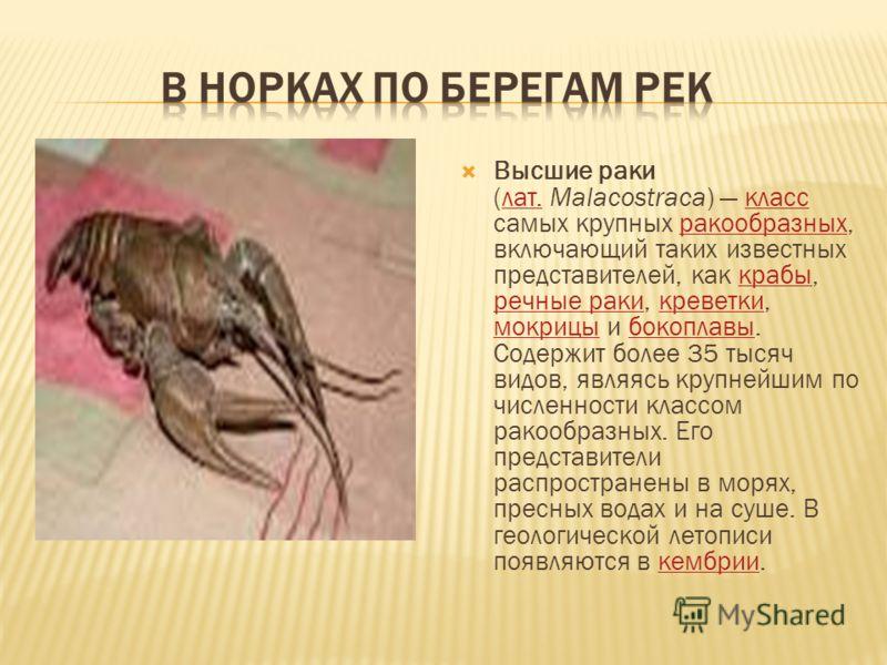 Высшие раки (лат. Malacostraca) класс самых крупных ракообразных, включающий таких известных представителей, как крабы, речные раки, креветки, мокрицы и бокоплавы. Содержит более 35 тысяч видов, являясь крупнейшим по численности классом ракообразных.
