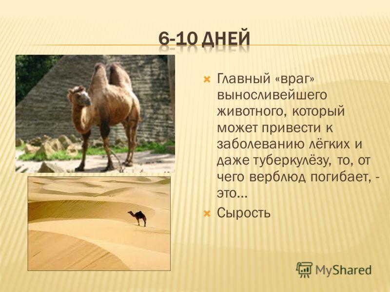 Главный «враг» выносливейшего животного, который может привести к заболеванию лёгких и даже туберкулёзу, то, от чего верблюд погибает, - это… Сырость