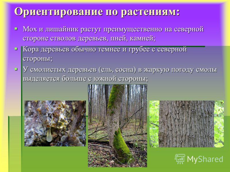 Ориентирование по растениям: Мох и лишайник растут преимущественно на северной стороне стволов деревьев, пней, камней; Кора деревьев обычно темнее и грубее с северной стороны; У смолистых деревьев (ель, сосна) в жаркую погоду смолы выделяется больше