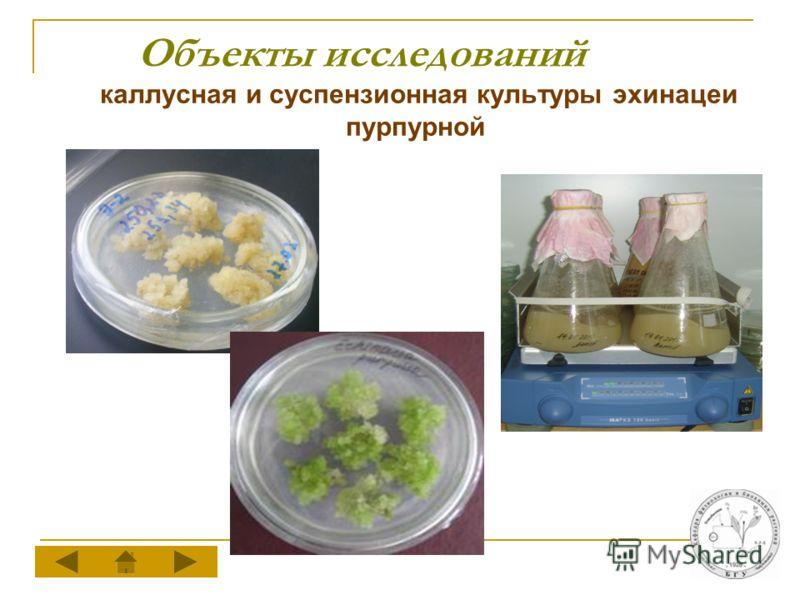 Объекты исследований каллусная и суспензионная культуры эхинацеи пурпурной