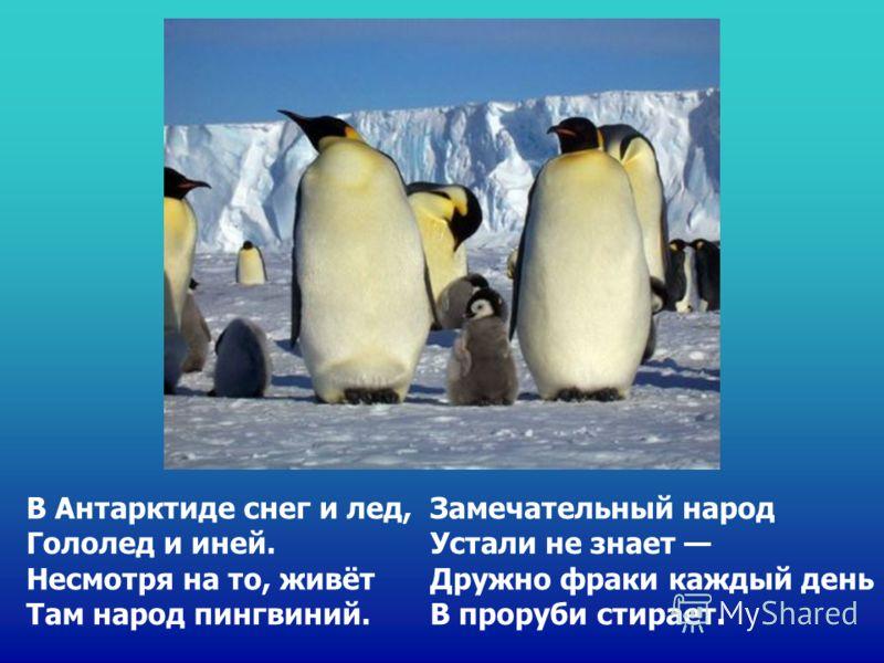 В Антарктиде снег и лед, Гололед и иней. Несмотря на то, живёт Там народ пингвиний. Замечательный народ Устали не знает Дружно фраки каждый день В проруби стирает.