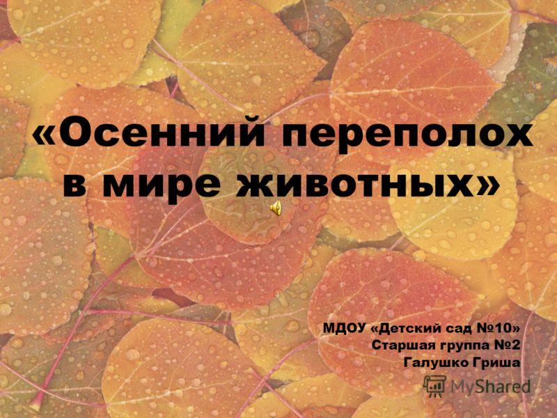 «Осенний переполох в мире животных» МДОУ «Детский сад 10» Старшая группа 2 Галушко Гриша
