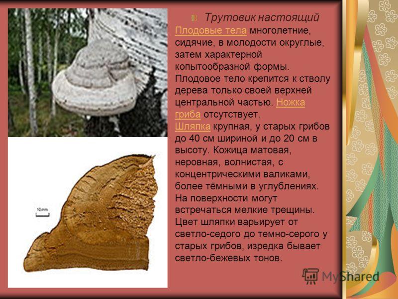 Плодовые телаПлодовые тела многолетние, сидячие, в молодости округлые, затем характерной копытообразной формы. Плодовое тело крепится к стволу дерева только своей верхней центральной частью. Ножка гриба отсутствует. Шляпка крупная, у старых грибов до