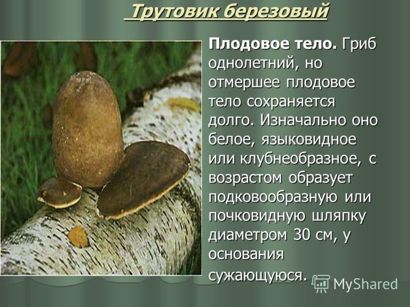 Трутовик березовый Плодовое тело. Гриб однолетний, но отмершее плодовое тело сохраняется долго. Изначально оно белое, языковидное или клубнеобразное, с возрастом образует подковообразную или почковидную шляпку диаметром 30 см, у основания сужающуюся.