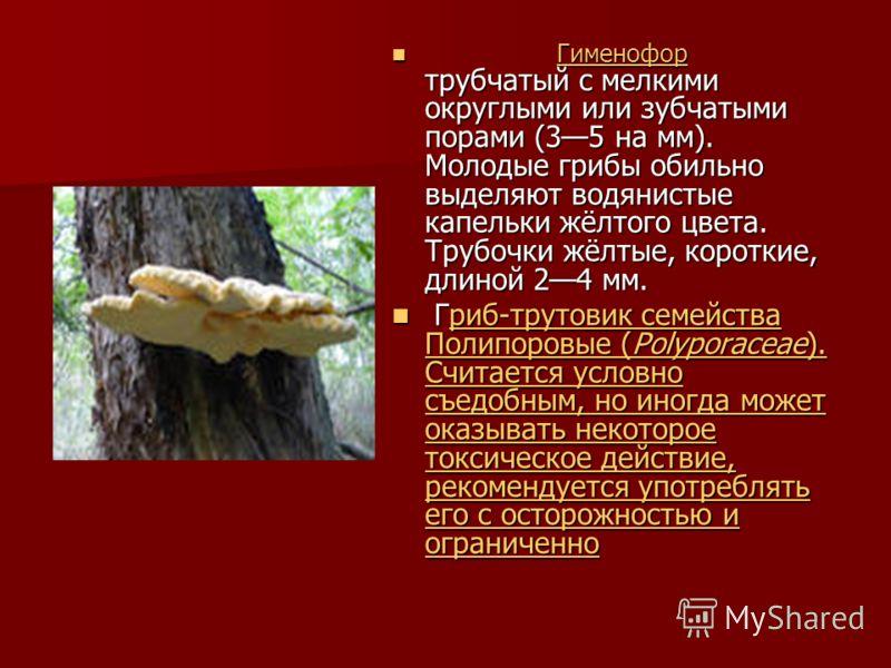 Гименофор трубчатый с мелкими округлыми или зубчатыми порами (35 на мм). Молодые грибы обильно выделяют водянистые капельки жёлтого цвета. Трубочки жёлтые, короткие, длиной 24 мм. Гименофор Гриб-трутовик семейства Полипоровые (Polyporaceae). Считаетс