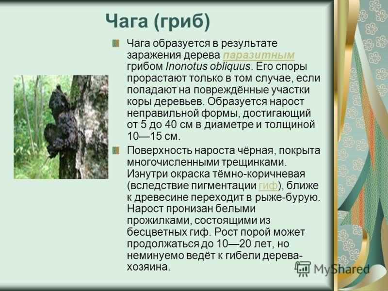 Чага (гриб) Чага образуется в результате заражения дерева паразитным грибом Inonotus obliquus. Его споры прорастают только в том случае, если попадают на повреждённые участки коры деревьев. Образуется нарост неправильной формы, достигающий от 5 до 40
