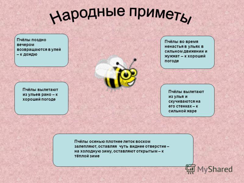Существуют пчёлы – кукушки сфекодесы Существуют пчёлы – убийцы