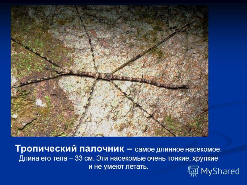 Тропический палочник – самое длинное насекомое. Длина его тела – 33 см. Эти насекомые очень тонкие, хрупкие и не умеют летать.
