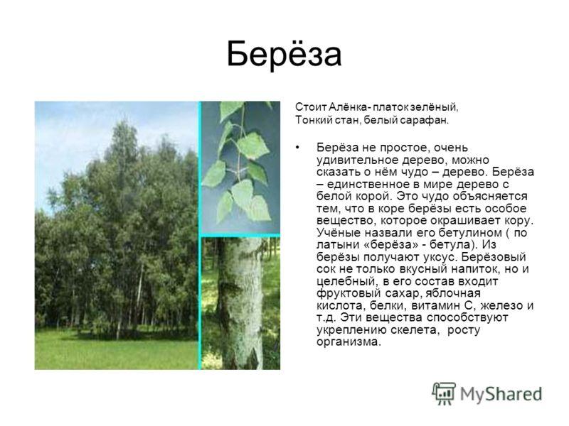 Берёза Стоит Алёнка- платок зелёный, Тонкий стан, белый сарафан. Берёза не простое, очень удивительное дерево, можно сказать о нём чудо – дерево. Берёза – единственное в мире дерево с белой корой. Это чудо объясняется тем, что в коре берёзы есть особ