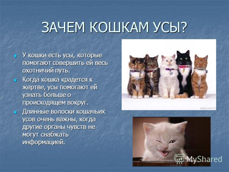 ЗАЧЕМ КОШКАМ УСЫ? У кошки есть усы, которые помогают совершить ей весь охотничий путь. Когда кошка крадется к жертве, усы помогают ей узнать больше о происходящем вокруг. Длинные волоски кошачьих усов очень важны, когда другие органы чувств не могут