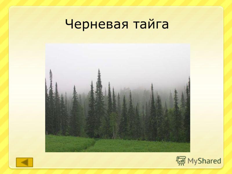 Так в Кемеровской области называют леса из пихты, ели и кедра. ответ