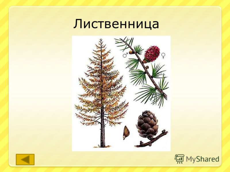 Дерево это живёт 400-500 лет и древесина его не знает предела службы «после смерти», за тысячелетия древесина темнеет и приобретает твёрдость камня. ответ