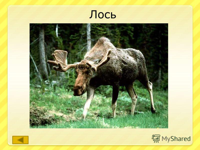 Этот олень является самым крупным в области. ответ