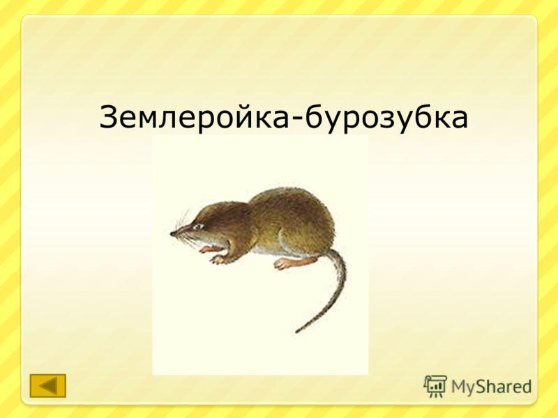 Самое древнее, самое маленькое и, пожалуй самое многочисленное млекопитающее родного края. ответ