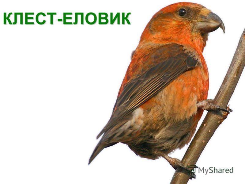КЛЕСТ-ЕЛОВИК