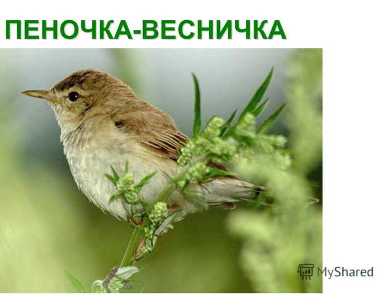 ПЕНОЧКА-ВЕСНИЧКА