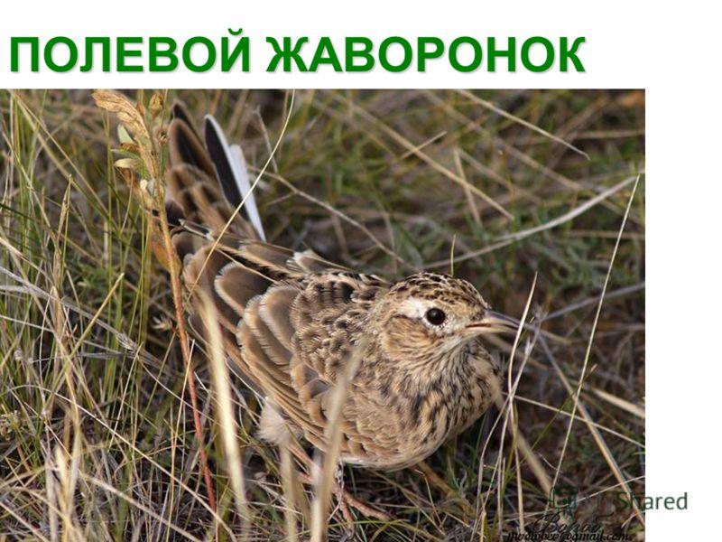 ПОЛЕВОЙ ЖАВОРОНОК