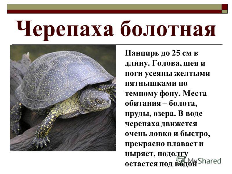Черепаха болотная Панцирь до 25 см в длину. Голова, шея и ноги усеяны желтыми пятнышками по темному фону. Места обитания – болота, пруды, озера. В воде черепаха движется очень ловко и быстро, прекрасно плавает и ныряет, подолгу остается под водой