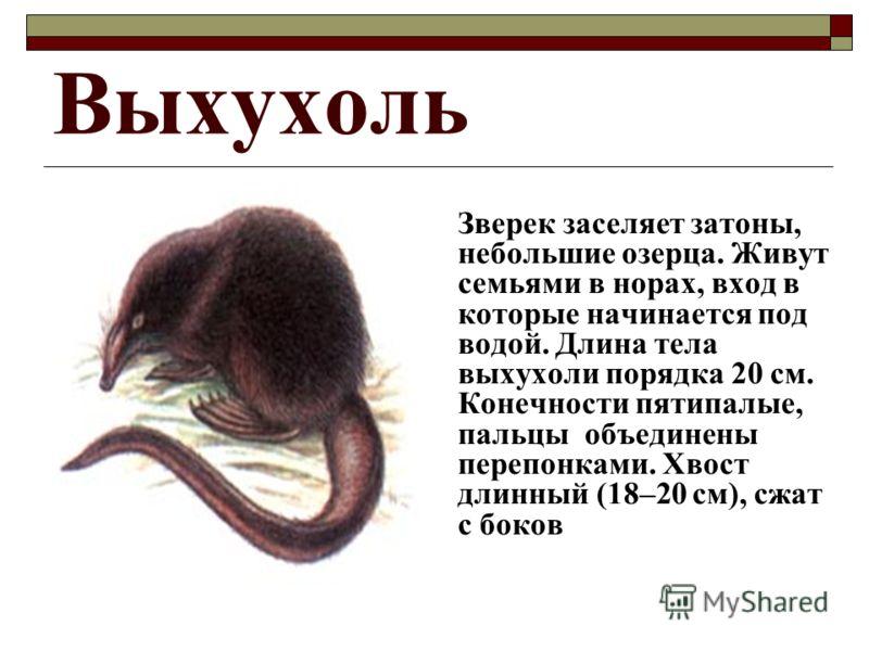 Выхухоль Зверек заселяет затоны, небольшие озерца. Живут семьями в норах, вход в которые начинается под водой. Длина тела выхухоли порядка 20 см. Конечности пятипалые, пальцы объединены перепонками. Хвост длинный (18–20 см), сжат с боков