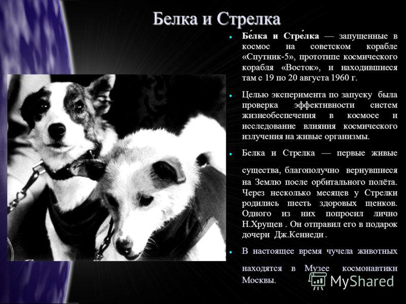 Белка и Стрелка Белка и Стрелка запущенные в космос на советском корабле «Спутник-5», прототипе космического корабля «Восток», и находившиеся там с 19 по 20 августа 1960 г. Целью эксперимента по запуску была проверка эффективности систем жизнеобеспеч