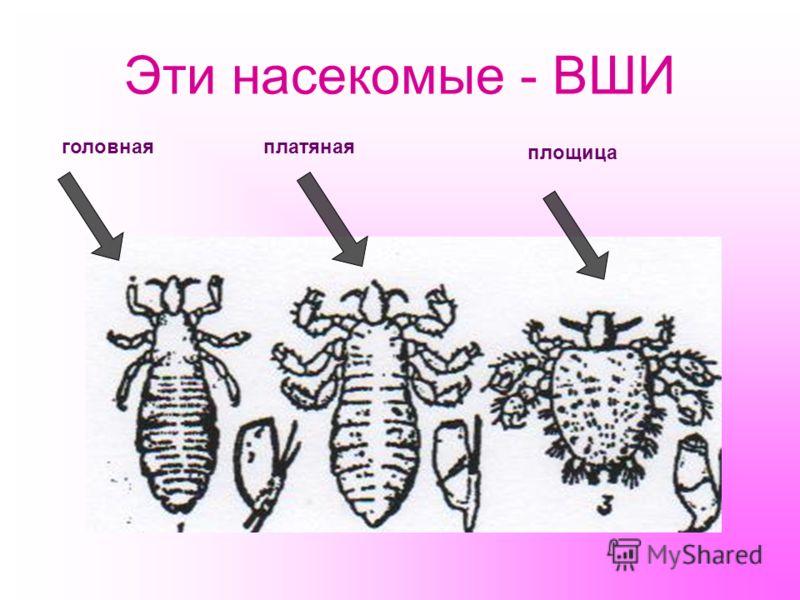 Эти насекомые - ВШИ головнаяплатяная площица